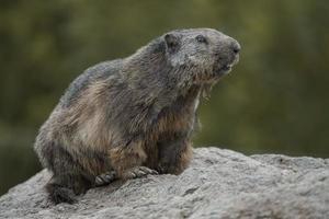 Alpine marmot on rock photo