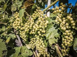 uvas blancas de liguria, italia foto