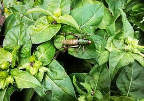 grillo en hojas verdes foto