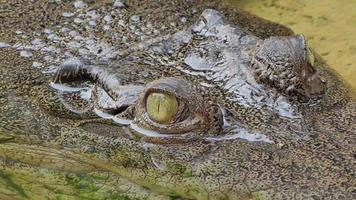 Eyes of crocodile in nature. video