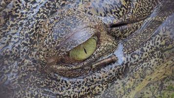 Crocodile was swimming in river. video