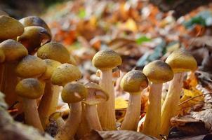 Setas agáricos de miel en el bosque de otoño foto