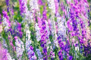 Beautiful lilac flowers in summer photo