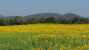 Yellow sunflowers field in summer, zoom in. video