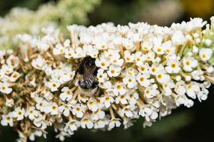 The insects collect pollen in the garden photo