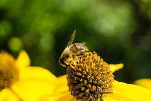 los insectos recogen polen en el jardín foto