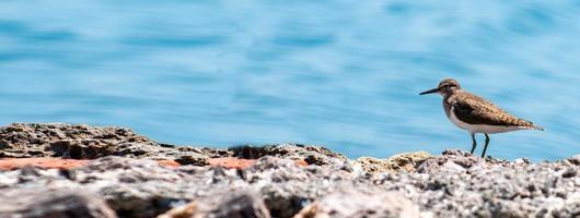 banner of a sea bird Tringa ochropus photo