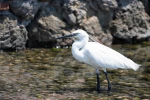 pájaro garza blanca junto al mar foto