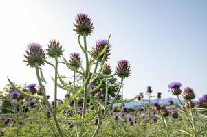 campo de alcachofas en flor foto