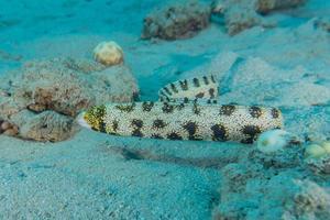 anguila serpiente tigre en el mar rojo colorido y hermoso, eilat israel foto