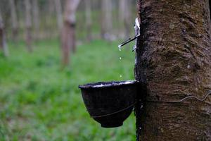 Fresh milky Latex flows into a plastic bowl in from para rubber tree photo