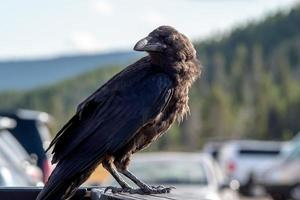 crow or raven perched on vehicle in the park photo