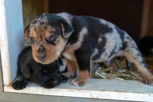 cachorros terrier recién nacidos de una semana de edad navegando por la caseta del perro foto