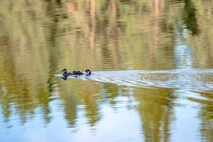 family of wild ducks on a small lake in the wild photo