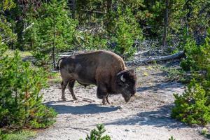 Bisontes pastando en una pradera en el parque nacional de Yellowstone. foto