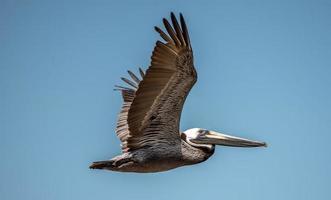 Pelican bird in flight over ocean under blue sky photo