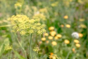 Macro of green dill with many flowers photo