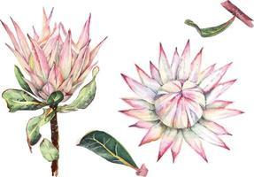 protea with watercolor vector