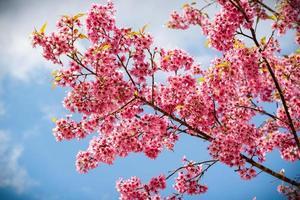 flores rosadas de sakura de tailandia que florecen en el invierno foto