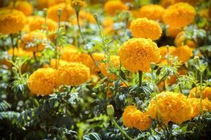 Caléndula amarilla en el jardín con técnica de enfoque selectivo foto