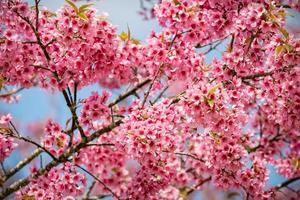Pink sakura flowers of Thailand blooming in the winter photo
