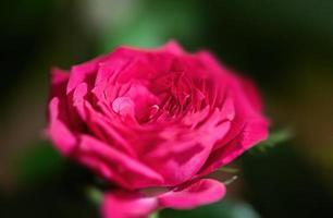 Pink rose in a festive bouquet photo
