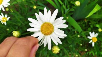 manzanilla. adivinación por amor. una mano femenina arranca un pétalo foto