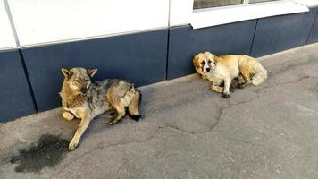 Homeless dogs lie near the city building. Large dogs are resting photo