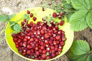 las fresas se recogen en un recipiente verde. cosechando fresas foto
