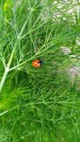 mariquita en un arbusto. un insecto se arrastra a lo largo de una rama verde de eneldo. foto