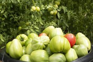 tomates en un primer plano de la cuenca. cosecha de hortalizas en invernadero. foto
