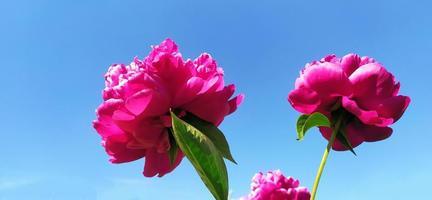 flores de peonía sobre un fondo de cielo azul y sol de verano. foto
