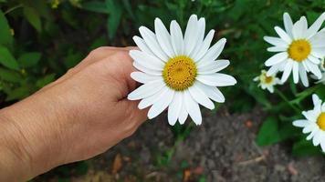 manzanilla grande en la palma de tu mano. un arbusto de margaritas blancas foto