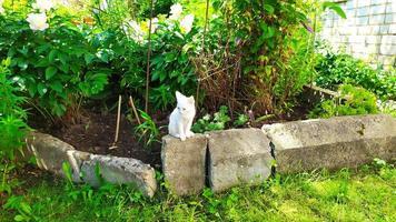 lindo gatito a pasear. pequeño gatito blanco se sienta foto