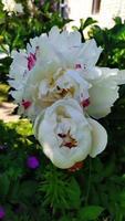 Peony flowers close up. A peony bush grows photo