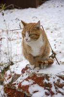 A ginger tabby cat sits outside on a winter day. Cute pet close up. photo