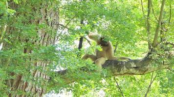 White handed Gibbon in nature. video