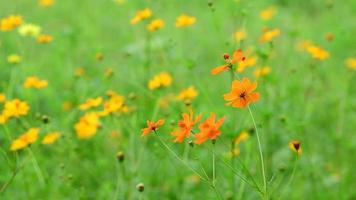 Shift focus of cosmos flower in field. video