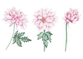 Establecer crisantemo pintado con acuarelas. vector