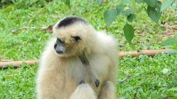 White Handed Gibbon resting on greensward. video