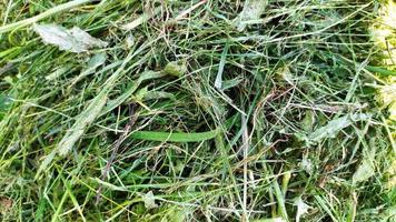 primer plano de hierba cortada. heno apilado. foto