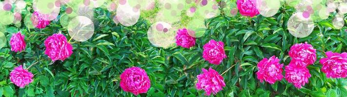 Floral banner of peonies with empty place for text. Flowers of peonies photo