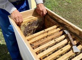 Winged bee slowly flies to beekeeper collect nectar photo