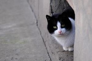 black and white tabby street cat with green eyes portrait close-up photo
