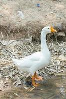 White goose by a river in Thailand photo