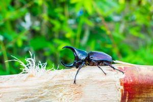 Thai rhinoceros beetle eating sugar cane photo