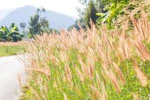 Racimo de hierba de fuente marrón al lado del camino foto