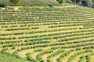 Row of green-tea trees in farm, wide angle shot photo