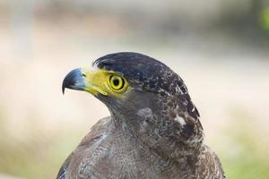 close-up young eagle photo