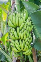 Foto vertical de racimo de plátanos verdes en el árbol